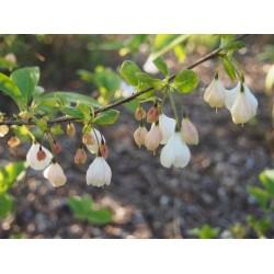 Halesia carolina - arbres aux cloches d'argent, perce neige en arbre