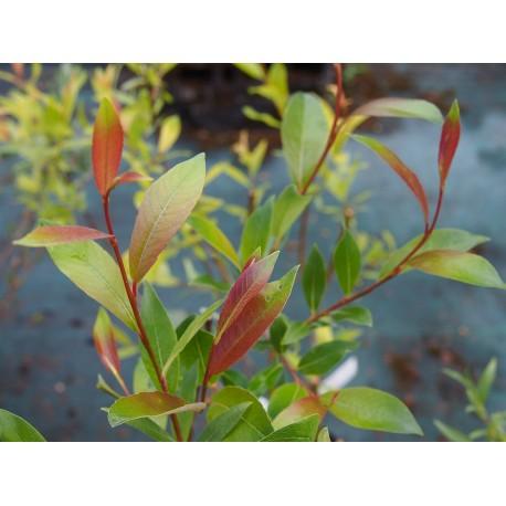 Salix arbusculoides