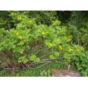 Paeonia delavayi var lutea - pivoine en arbre