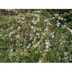 Deutzia kalmiiflora x