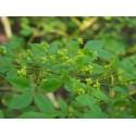 Euonymus alatus - Fusain ailé
