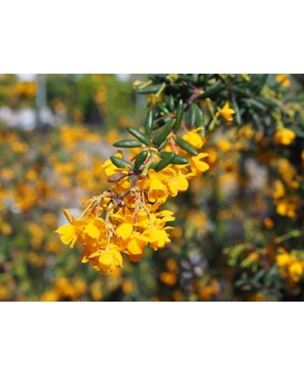 Berberis stenophylla x - berberis, épine-vinettes, vinetiers,épines vinettes,