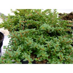 Cotoneaster congestus