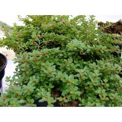 Cotoneaster congestus