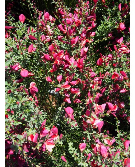 Cytisus scoparius 'Burkwoodii' - genêts hybrides, genêts à balais,