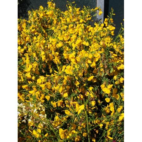 Cytisus scoparius 'Golden Sunlight'