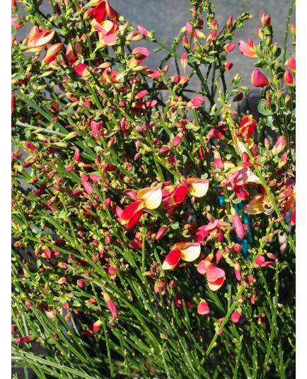 Cytisus scoparius 'Palette'