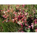 Cytisus praecox x 'Hollandia' - genêts hybrides,