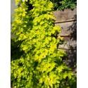 Humulus lupulus 'Aureus' - Houblon doré