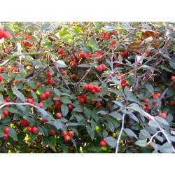 Cotoneaster franchetti - cotonéasters,