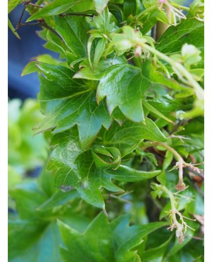 Parthenocissus tricuspidata 'Lowii' - vigne vierge naine