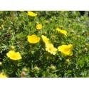 Potentilla fruticosa 'Kobold' - potentille