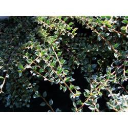 Cotoneaster horizontalis - Cotoneaster horizontal