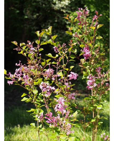 Syringa 'Red Pixie' - lilas nain remontant