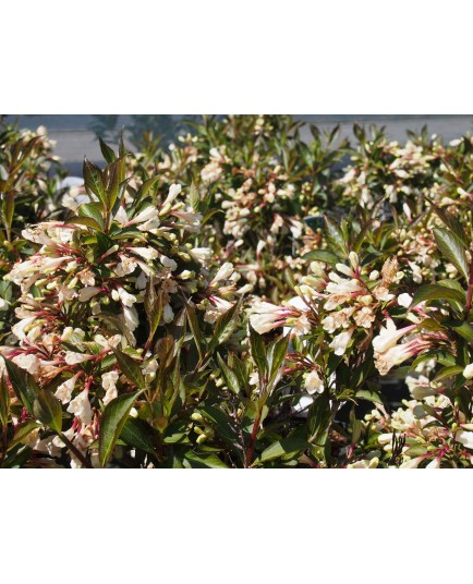 Weigela 'Black & White'®' (Courtacad 01) - weigelia