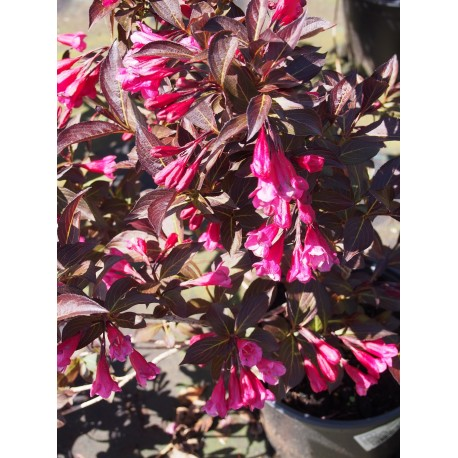 Weigela florida 'Alexandra'® (Wines & roses) - weigelia pourpre