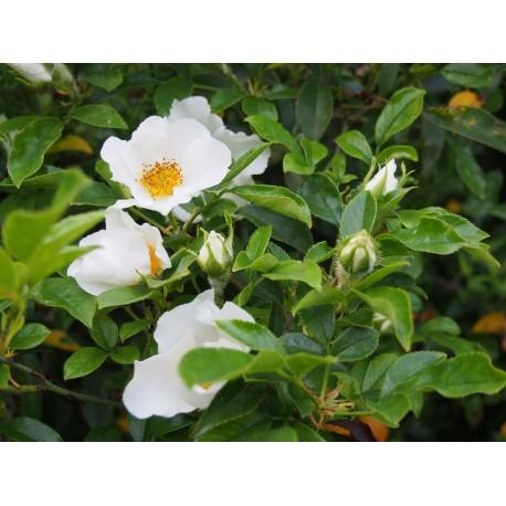 Rosa laevigata - Rosaceae - rosier camélia