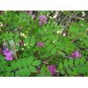 Indigofera himalayensis 'Silk Road' - Indigotier de l'Himalaya