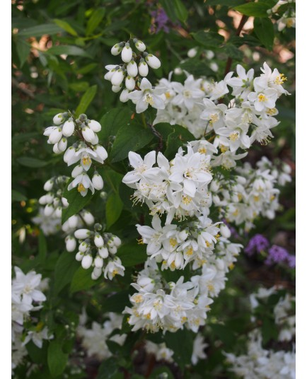 Deutzia hybrida 'Magical Spring'