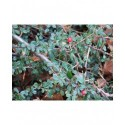 Cotoneaster procumbens 'Streibs Finding' - cotonéasters,