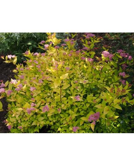 Spiraea japonica 'Gold Mound' - Spirée du Japon