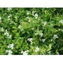 Spiraea lancifolia - spirée