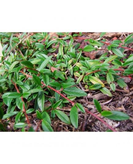 Cotoneaster salicifolius 'Parkteppich' - Cotoneaster à feuille de saule