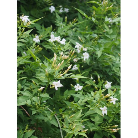 Jasminum officinale - Jasmin officinal, jasmins blancs