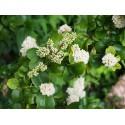 Ligustrum japonicum 'Coriaceum' - Troène du Japon à feuille de camelia