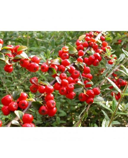 Cotoneaster splendens 'Sabrina'