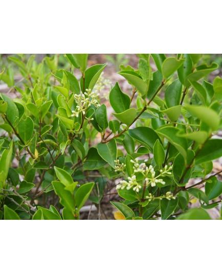 Ligustrum japonicum 'Korean Dwarf' - Troènes