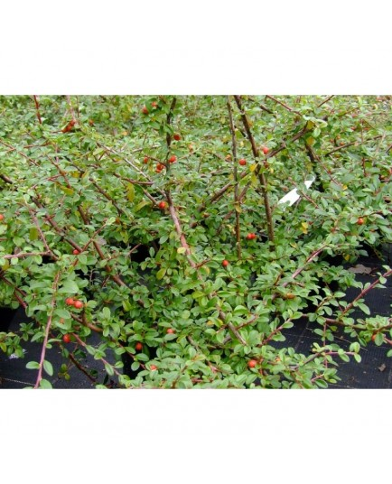Cotoneaster suecicus x 'Coral Beauty' - cotoneaster rampant
