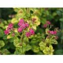 Spiraea japonica 'Bullata' - spirée naine