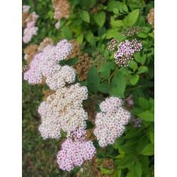 Spiraea japonica 'Coccinea' - Spirées du japon