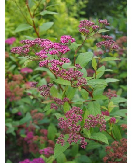 Spiraea japonica 'Froebelli' - Spirée du Japon