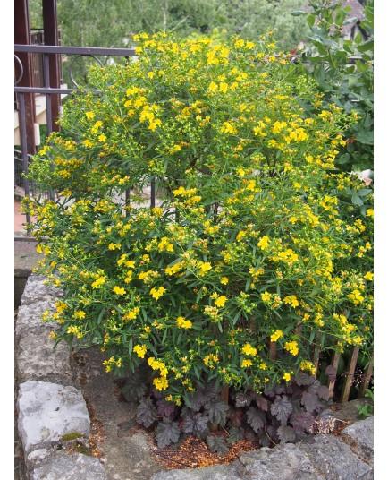 Hypericum kalmianum 'Gemo' - millepertuis
