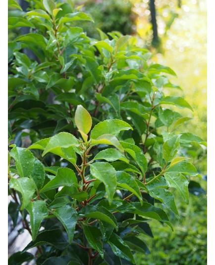 Prunus lusitanica 'Brenelia'® - Laurier du Portugal