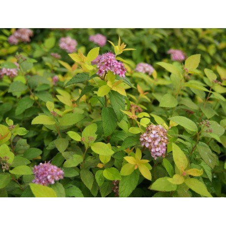 Spiraea japonica 'Zen Spirit Caramel'®