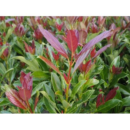 Viburnum odoratissimum 'Coppertop' ®