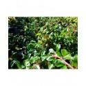 Cotoneaster suecicus x 'Sürth'