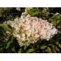 Hydrangea paniculata 'Polar Bear'®