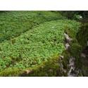 Androsace sarmentosa - androsace sarmenteuse, Androsace stolonifère