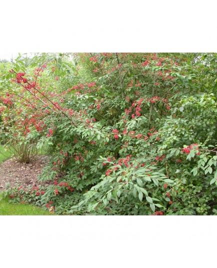 Cotoneaster watereri x Cornubia'