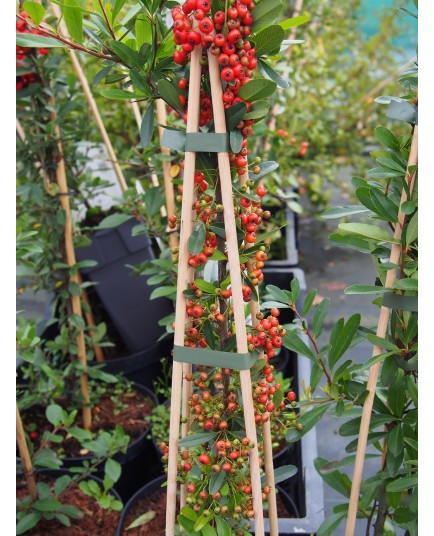 Pyracantha 'Red Column' - buisson ardent