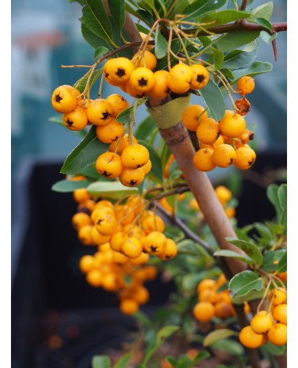 Pyracantha 'Soleil d'Or' - buisson ardent