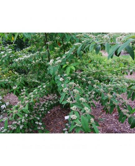 Cotoneaster watereri x 'Braendkjaer'
