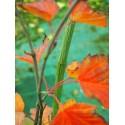 Acer capillipes - Erables, peau de serpent