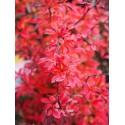 Berberis thunbergii 'Orange Dream'® - Epine vinette
