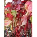 Cornus alba 'Bâton Rouge'® - Cornouiller