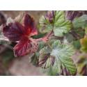 Ribes sanguineum 'Elk River Red' - groseiller fleur